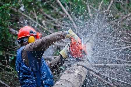 Mösch bei der Arbeit: Die Baumfällung